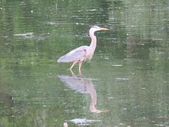 Great Blue Heron (Sean_Marshall) Tags: heron greatblueheron stratford ontario