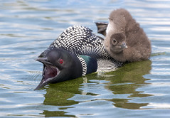 Common Loon (Get off) (Peter Stahl Photography) Tags: commonloon loon chick
