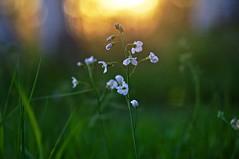 Sunset (Stefano Rugolo) Tags: stefanorugolo pentax k5 pentaxk5 smcpentaxm100mmf28 kmount sunset wildflowers bokeh backlight grass spring light hälsingland sweden manualfocuslens manualfocus manual vintagelens