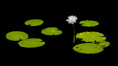 Water Lily in the Void (Christopher J May) Tags: co colorado dbg denver denverbotanicgardens nikond800 vivitar85mmf18 blackbackground floral flower lily lowkey plant polarizer waterlily