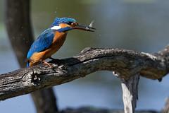 DSC_3360_DxO - Martin-pêcheur d'Europe - Alcedo atthis - Common Kingfisher (Berzou) Tags: martinpêcheurdeurope alcedoatthis commonkingfisher oiseau bird nature naturebynikon nikond7500 tamron150600mmf563 tamron150600 etangauxmoines étangauxmoines essonne maraisdefontenay france ornithologie