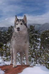 Aurora (Cruzin Canines Photography) Tags: animal animals aurora canon canoneos5ds canon5ds canine 5ds eos5ds dog dogs pet pets husky huskies alaskanhusky siberianhusky outdoors outside nature naturallight naturepreserve gardenofthegods colorado coloradosprings winter snow