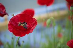 The red landing platform (Ernst_P.) Tags: austria aut botanischergarten innsbruck österreich tirol pflanze blüte blume mohn sigma macro 105mm f28 insekt biene bee abeja