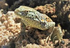 Fabian's Lizard (Liolaemus fabiani), at Salar de Atacama. (Ruby 2417) Tags: fabians lizard reptile wildlife nature atacama salar chile salt mud