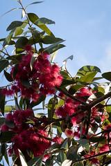 Eucalyptus tree in flower (johnstewartnz) Tags: gum gumtree eucalyptus eucalyptustree flower eucalyptusflower 2470 2470mm ef2470mmf4l canonef2470f40l canon canonapsc apsc eos 7dmarkii 7d2 7d canon7dmarkii canoneos7dmkii canoneos7dmarkii