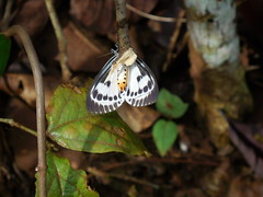 Neochera dominia (Cramer, 1780) Noctuidae-Aganainae-Snouted tiger-ผีเสื้อหนอนกระทู้, ผีเสื้อบุ้งสันหลังขาว (SierraSunrise) Tags: animals insects moths lepidoptera black white gray yellow thailand isaan esarn nongkhai phonphisai
