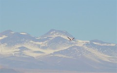 Chilean Flamingo flying across the high Andes (Ruby 2417) Tags: andes mountains volcano chile flamingo bird wildlife nature flight fly fantastic