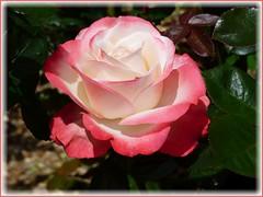 Rose (ursula.valtiner) Tags: blume flower rose rosenblüte roseblossom koeniginderblumen rosengarten rosegarden kirchschlaginderbuckligenwelt niederösterreich loweraustria austria autriche österreich duftrosengarten fragrantrosegarden