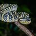 Tropidolaemus wagleri, Wagler's palm pit viper - Takua Pa District, Phang-nga Province