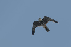 Hobby (Tim Melling) Tags: falco subbuteo hobby falcon flying flight thorne moors south yorkshire timmelling
