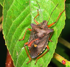 Pentatoma rufipes (SonyLeo) Tags: pentatomarufipes sonyfe90mmf28macrogoss fe90mmf28macrogoss sonyilce7m2 sonya7m2