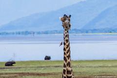2019.06.04.2327 Maasai Giraffe V (Brunswick Forge) Tags: africa tanzania grouped 2019 winter summer lake bird nature water birds animal animals outdoors outdoor wildlife manyara lakemanyara inmotion animalportraits nikond500 nikkor200500mm sky day air sunny clear lakemanyaranationalpark