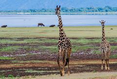 2019.06.04.2326 Maasai Giraffes IV (Brunswick Forge) Tags: africa tanzania grouped 2019 winter summer lake bird nature water birds animal animals outdoors outdoor wildlife manyara inmotion animalportraits nikond500 nikkor200500mm sky day air sunny clear lakemanyara lakemanyaranationalpark