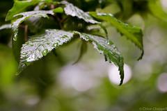 Raining bokeh (_chloechappell) Tags: water rain bokeh light droplets macro focus circles nature tree leaves weather canon canoncamera