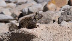 California ground squirrel (Teelicht) Tags: beecheygroundsquirrel california californiagroundsquirrel kalifornien kalifornischerziesel küste montereycounty nagetier nordamerika northamerica otospermophilusbeecheyi pacificgrove usa unitedstatesofamerica vereinigtestaaten coast rodent