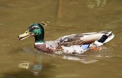 Quack ! (R.K.C. Photography) Tags: mallard duck drake bird water cherryhintonhall cambridge cambridgeshire england unitedkingdom uk wildlife canoneos750d