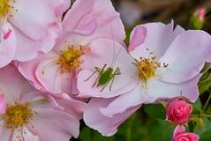 Leptophye ponctuée ou Sauterelle ponctuée sur une rose « Queen Mother »   ---    Speckled bush-cricket on a « Queen Mother » rose (A_Decostre) Tags: leptophye ponctuée sauterelle rose queen mother speckled bushcricket fleur flower insecte insect coth macromarvels