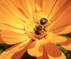 Bee in a Marigold (celia.mulhearn) Tags: bee marigold nationaltrust tyntesfield tamron1024mm