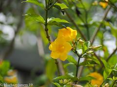 ひめありあけかずら/ Allamanda nerifolia hook (bluehazyjunem) Tags: tropicalflower allamandanerifolihook oofunaflowercenter