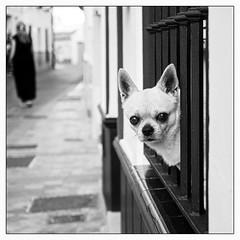 Quoi ma gueule!!! (francis_bellin) Tags: olympus andalousie streetphoto street nerja netb photoderue chien noiretblanc monochrome bw blackandwhite dog rue espagne perro 2019 larue chiendegarde