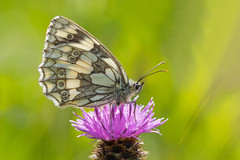 Marbled White....... (klythawk) Tags: marbledwhite melanargiagalathea butterfly insect wildlife nature summer sunlight knapweed meadowplant purple green brown grey black white olympus omd em1mkll 100400mm panasonic leica totonsidings nottingham klythawk