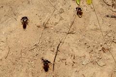 Diggers - 07 VII 2019 (el.gritche) Tags: hymenoptera france 40 garden crabronidae philanthustriangulum male behavior burrow
