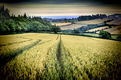 Down to the Sea 27/52 (rmrayner) Tags: neartothesea wheat tramline countryside ashcombe devon ashcombecottages farming agriculture seascape hills england 52weeksthe2019edition 2752 week27 farm landscape rural