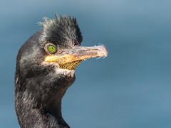 Quick shag (alanrharris53) Tags: bird farne island northumberland aves shag