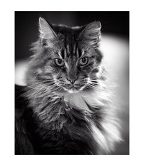 Soft Bruce (Photodoos) Tags: maine coon cat pet bruce canonnl f28