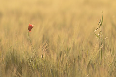Fading (microwyred) Tags: agriculture poppy spennells places
