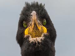 Angry bird (alanrharris53) Tags: bird farne island northumberland aves shag