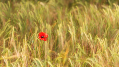Solitary (Pete Rowbottom, Wigan, UK) Tags: poppy poppies poppyfield grass wheat summer sunlight light golden singlepoppy flower peterowbottom landscape bewdley worcestershire wind outdoors shallowdof beauty nature movement uk england midlands goldenlight goldenhour nisi fotopro nikond810 wyreforest depth isolated red minimal