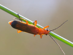 Acrobat (John Spooner) Tags: panasonic lumix gx80 gx85 olympus 60mm macro insect cardinal beetle grass stalk
