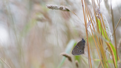 Ringlet (explore) (Jongejan) Tags: butterfly insect animal bokeh grass nature wildlife outdoor outside evening