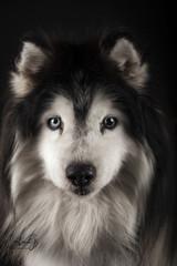 Chloe (carla ghysels) Tags: dogs lowkey siberianhusky studiophotography husky petphotography pet