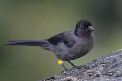 850_9110 (Weng Kong Koh) Tags: birds birdwatcher nature wildlife finches