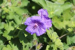 Hambledon 190016 Geranium (Erving Newton) Tags: hants hambledon garden geranium