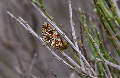 Small Pearl Bordered Fritillary (Boloria selene) (andrewmckie) Tags: spbf smallpearlborderedfritillary butterfly muirofdinnet insects wildlife scottish scotland scottishwildlife boloriaselene