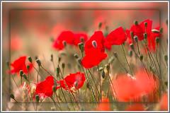 Mohn (GeorgKazrath) Tags: rot blumen flowers 135mm canon135mm mohn bokeh