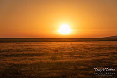 July 5, 2019 - A deer walks toward the sunrise. (Tony's Takes)