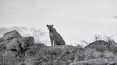 Leopard (Leon Sammartino) Tags: kenya samburu sambaru national park northern elephant bedroom camp safari mnochrome wildlife fine art black white leopard africa landscape