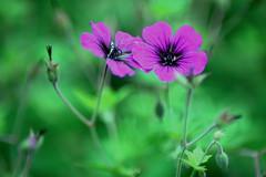 Storchschnabel (piccolodiavolo) Tags: geranium flower garden nature natur pflanze blume garten