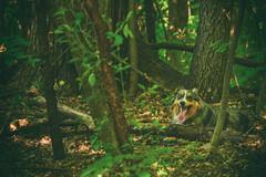 Into the Woods (flashfix) Tags: july082019 2019inphotos flashfix flashfixphotography ottawa ontario canada nikond7100 55mm300mm greenery trees sock dog canine animal pet austrailanshepherd triaustrailanshepherd bluemerle tricolour heterochromia familytime woods leaves textures