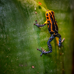 Hungry (FotoCorn) Tags: jungle mimicpoisonfrog danger poisonous rainforest nature dangerous leaf frog toxic ranitomeyaimitatorjeberos orange dart blue colorful macro poisonarrowfrog forest poison amphibian southamerica green fauna small tropical dartfrog blijdorp zoo