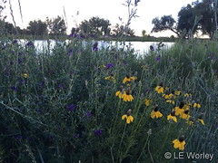 July 9, 2019 - Wild flowers in Thornton. (LE Worley)