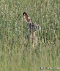 July 9, 2019 - A jackrabbit hides in the grass. (Bill Hutchinson)