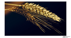 time to harvest (Hartmut Schulz Photography) Tags: ernte hartmutschulz photography harvest