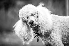 Margaux (Thomas Hawk) Tags: america margaux poodlemargaux seattle usa unitedstates unitedstatesofamerica washington washingtonstate bw dog poodle fav10 fav25