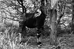 DSC00242 (olliethewino) Tags: blackandwhite wildplace okapi