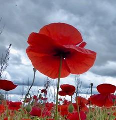 (m.ann.n) Tags: poppyfields france